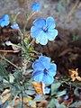 Eranthemum capense at Nedumpoil (8).jpg