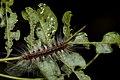 Erebidae (35675498325).jpg