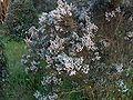 Erica arborea g1.jpg