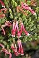 Erica discolor (Ericaceae) (4575520735).jpg