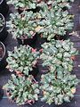 Eryngium variifolium - Flickr - peganum.jpg