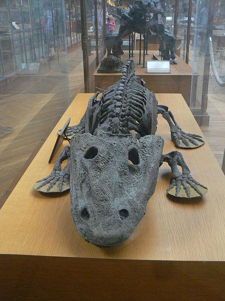Archivo:Eryops megacephalus skeleton front.JPG