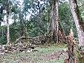 Espiritu Pampa Archaeological site - tree on wall.jpg