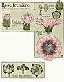 Etude de la plante - p.64 fig.75 - Rose trémière.jpg