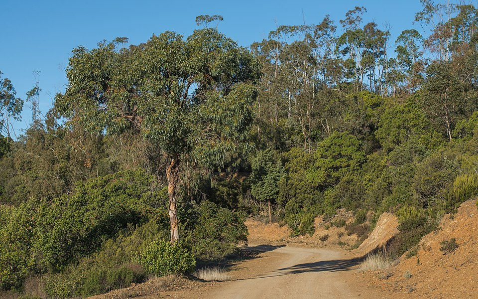 Eucalyptus gunnii forest, introduced here at the end of the years 50. Cessenon-sur-Orb, Hérault, France.
