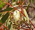 Eucalyptus-oleosa-buds.jpg