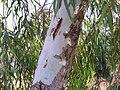 Eucalyptus camaldulensis Tronco 2010-8-12 MiguelturraCampodeCalatrava.jpg