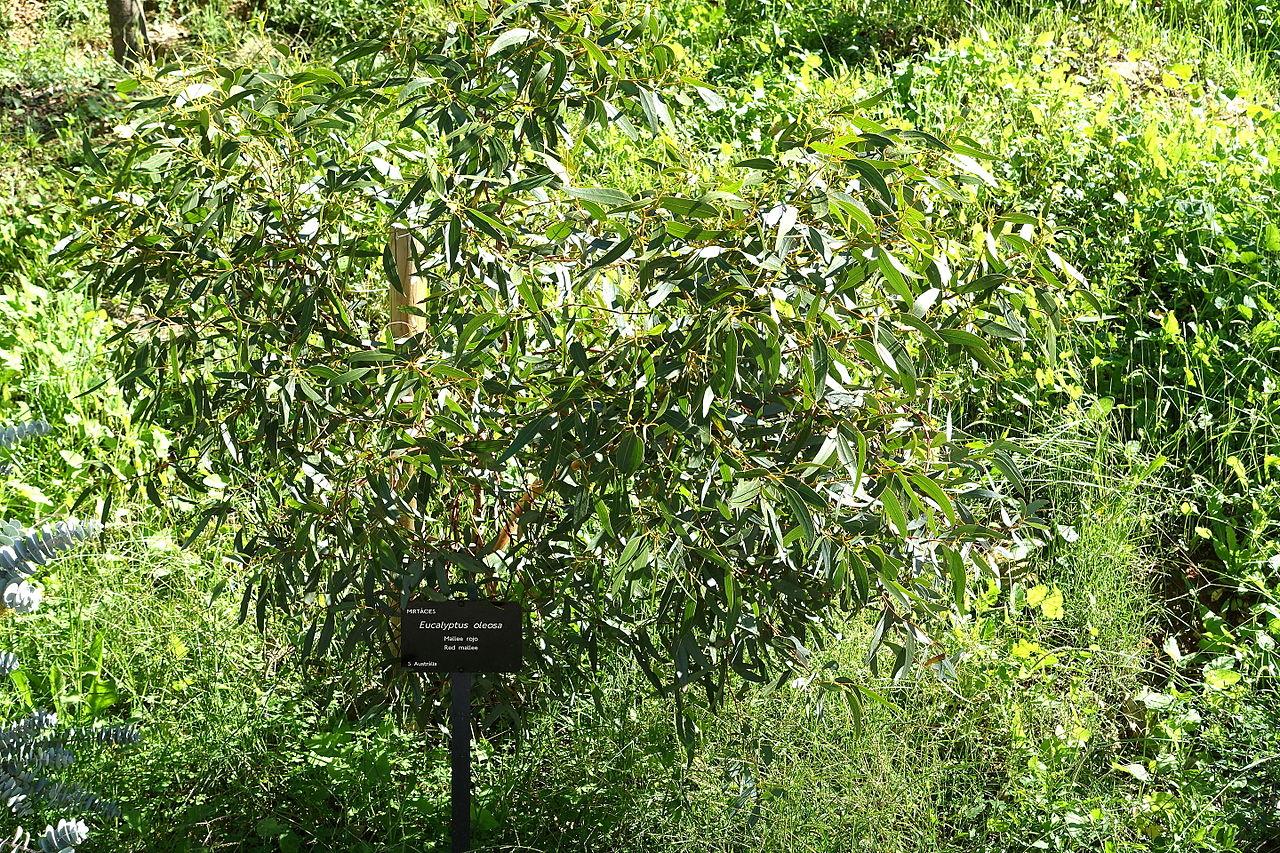 File eucalyptus oleosa jard n bot nico de barcelona for Barcelona jardin
