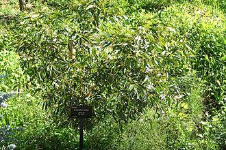 Eucalyptus oleosa - Eucalyptus oleosa growing at Jardín Botánico de Barcelona