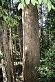 Eucalyptus oreades trunk Katoomba.JPG