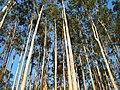 Eucalyptus sp.jpg