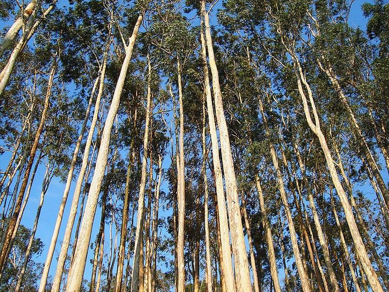 File:Eucalyptus sp.jpg