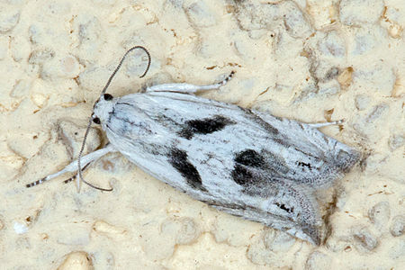 Eucosma metzneriana, Lodz(Poland)01(js).jpg