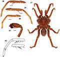 Eucteniza cabowabo male holotype anatomy.jpg