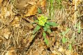 Euphorbia amygdaloides k2.JPG