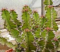 Euphorbia grandialata ies.jpg