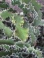 Euphorbia grandicornis - Jardin d'Éden.jpg