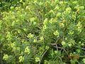 Euphorbia lambii.jpg