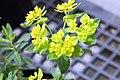 Euphorbia polychroma 3zz.jpg