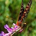 Euphydryas chalcedona chalcedona-Male-4.jpg