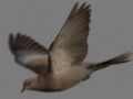 EurasianCollaredDoveFlying.png