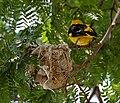 Eurasian Golden Oriole (Oriolus oriolus) on nest W IMG 9027.jpg