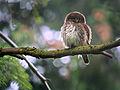 Eurasian Pygmy Owl (Glaucidium passerinum), Eastern Belgium (14581626193).jpg