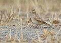 Eurasian Skylark (Alauda arvensis) (31273758617).jpg