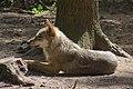 Europäischer Grauwolf (Canis lupus lupus) im Wolfcenter Barme (Dörverden) IMG 8943.jpg
