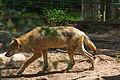 Europäischer Grauwolf (Canis lupus lupus) im Wolfcenter Barme (Dörverden) IMG 9037.jpg