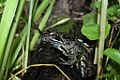European Common Frog (Rana temporaria) (8619563736).jpg
