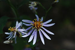 Eurybia macrophylla.jpg