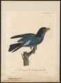Eurystomus orientalis - 1825-1834 - Print - Iconographia Zoologica - Special Collections University of Amsterdam - UBA01 IZ16700245.tif