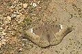 Euthalia aconthea-Kadavoor-2016-06-25-002.jpg