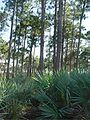 Everglades pine rockland.jpg