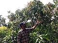 Exotic Fruit Plants India 1z .jpg