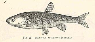 Delminichthys adspersus - Image: FMIB 48040 Leuciscus adspersus (Heckel)