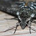 Face of a Carolina Sphinx Moth (9594789204).jpg