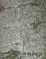 Fagus sylvatica - cortex.jpg