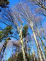Fagus sylvatica Picea abies Fischerhölzli Honeret.jpg