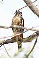 Falco columbarius FWS 14007.jpg