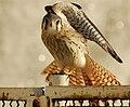 Falco spaverius cinnamonimus2.JPG