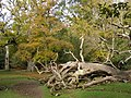 Fallen tree east of Queen Bower, New Forest - geograph.org.uk - 277659.jpg