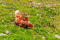 Farm Arpisson (2327 m.) Above Gimillan Cogne Valley (Italy). Kippen om de boerderij 01.jpg