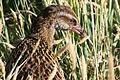 Fauna de Nueva Zelanda08.JPG