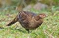 Female Mikado Pheasant.jpg