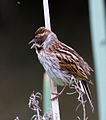 Female Reed Bunting 1 (7314677580).jpg