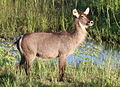 Female Waterbuck at Letaba River. (12223451256).jpg