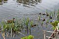 Female duck with ducklings at Coughton Court.jpg