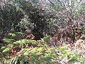 Ferns in the Royal National Park.jpg